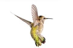 在飞行中安娜的蜂鸟 库存照片
