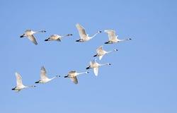 在飞行中寒带苔原天鹅 库存图片
