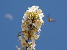 在飞行中寻找从白色野花的蜂鸟花蜜开花 库存照片