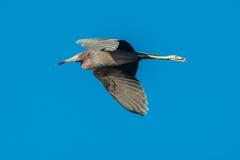 在飞行中小的蓝色苍鹭 免版税库存图片
