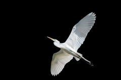 在飞行中巨型白鹭 免版税库存照片