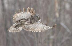 在飞行中巨大灰色猫头鹰 免版税图库摄影