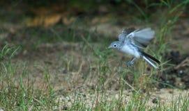 在飞行中幼小模仿鸟 免版税库存照片
