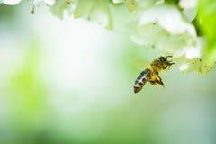 在飞行中接近开花的树的蜂蜜蜂 免版税库存图片