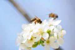 在飞行中接近开花的樱桃花的蜂蜜蜂 库存照片