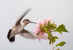 在飞行中提供少年的蜂鸟 库存照片