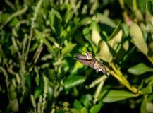 在飞行中搜寻一些花蜜的蜂鸟 库存图片