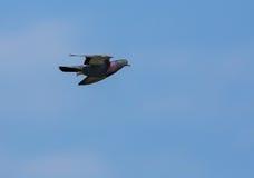 在飞行中斑尾林鸽 图库摄影