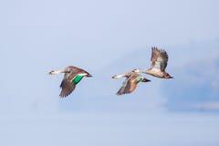 在飞行中斑点开帐单的鸭子 库存照片