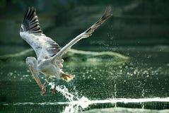 在飞行中斑点开帐单的鹈鹕吞水 免版税图库摄影