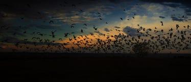 在飞行中早晨鸟 免版税库存图片