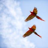 在飞行中明亮的猩红色金刚鹦鹉 图库摄影