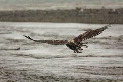 在飞行中未成熟的白头鹰 免版税库存照片