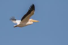 在飞行中极大的白色鹈鹕 库存图片