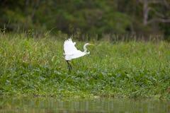 在飞行中极大的空白白鹭 库存照片