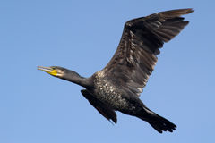 在飞行中极大的鸬鹚鸟 免版税库存照片