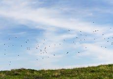 在飞行中椋鸟群  库存图片