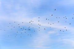 在飞行中椋鸟 库存照片