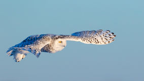 在飞行中母斯诺伊猫头鹰 免版税库存照片