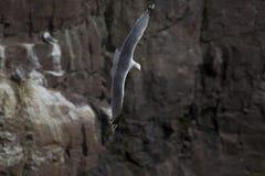 在飞行中海鸟 库存图片