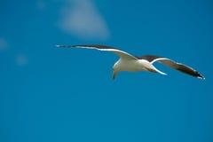 在飞行中海鸥 免版税库存图片