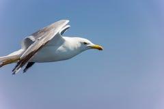 在飞行中海鸥 库存图片