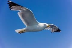 在飞行中海鸥 免版税库存照片