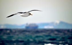 在飞行中海鸥 库存照片