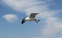 在飞行中海鸥 免版税图库摄影