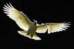 在飞行中澳大利亚硫磺有顶饰美冠鹦鹉 免版税库存照片