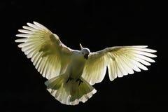 在飞行中澳大利亚硫磺有顶饰美冠鹦鹉 库存图片