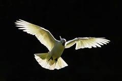 在飞行中澳大利亚硫磺有顶饰美冠鹦鹉 免版税库存图片