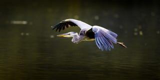 在飞行中灰色苍鹭(侧视图) 免版税库存照片