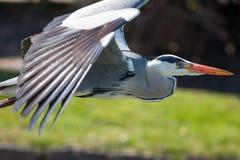 在飞行中灰色苍鹭 在关闭的美好的狂放的涉水鸟飞行 免版税库存照片