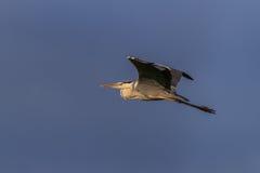 在飞行中灰色苍鹭 库存照片