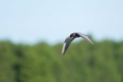 在飞行中燕鸥 库存照片