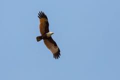 在飞行中猎鹰 图库摄影