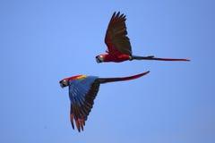 在飞行中猩红色金刚鹦鹉 免版税图库摄影