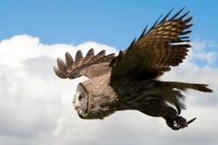在飞行中猫头鹰 免版税库存照片