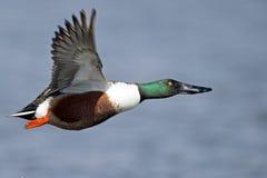 在飞行中琵嘴鸭 库存图片