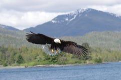 在飞行中白头鹰 免版税库存照片