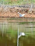 在飞行中白色白鹭 库存照片