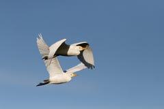 在飞行中白色白鹭 免版税库存图片