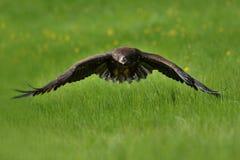 在飞行中白色被盯梢的老鹰 免版税库存图片