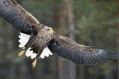 在飞行中白被盯梢的老鹰特写镜头 库存照片
