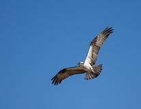 在飞行中白鹭的羽毛 免版税库存照片