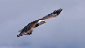 在飞行中白头鹰 免版税图库摄影