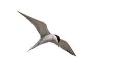 在飞行中盘旋一只成人共同的燕鸥 库存图片