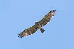 在飞行中看起来平直的下来的短用脚尖踢的老鹰 免版税图库摄影