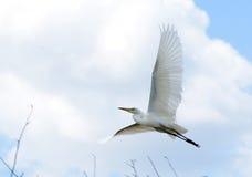 在飞行中空白白鹭 免版税库存照片